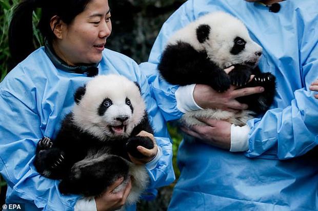 Khoảnh khắc dễ thương: Anh em gấu trúc bị bắt chào cô chú đi con nhưng chỉ muốn tháo chạy khỏi vòng tay nhân viên sở thú - Ảnh 2.