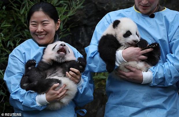 Khoảnh khắc dễ thương: Anh em gấu trúc bị bắt chào cô chú đi con nhưng chỉ muốn tháo chạy khỏi vòng tay nhân viên sở thú - Ảnh 3.