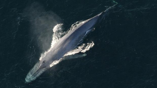 Cuộc chạm trán thót tim giữa cá voi xanh khổng lồ và nhóm người lướt sóng - Ảnh 2.