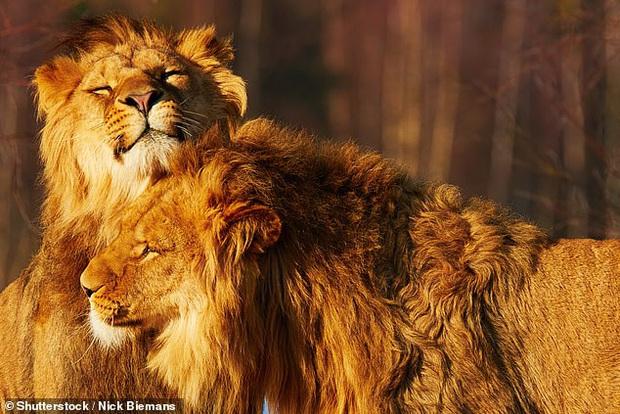 ĐH Yale xác nhận ĐAM MỸ là chuyện phổ biến ở phần lớn các loài động vật: Bảo sao mà 2 anh sư tử trên thảo nguyên ngày nào lại đè nhau ra - Ảnh 2.