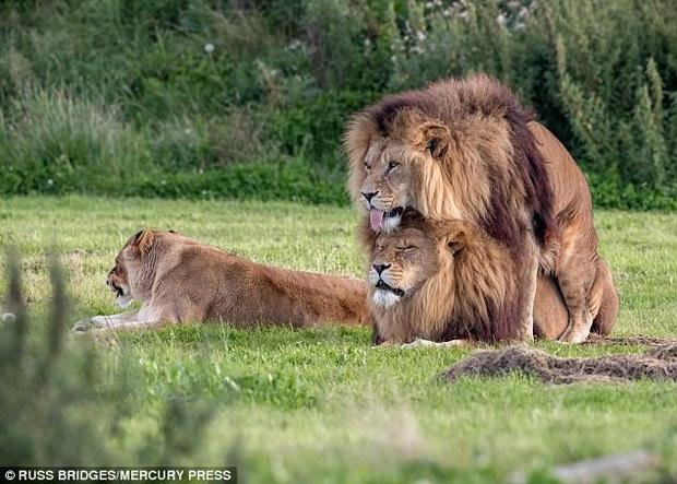 ĐH Yale xác nhận ĐAM MỸ là chuyện phổ biến ở phần lớn các loài động vật: Bảo sao mà 2 anh sư tử trên thảo nguyên ngày nào lại đè nhau ra - Ảnh 1.