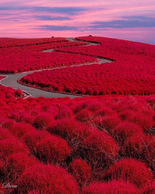 Đẹp nhất Nhật Bản mùa này chính là đồi cỏ Kochia đỏ rực, du khách đua nhau check-in đông không thấy lối đi - Ảnh 3.