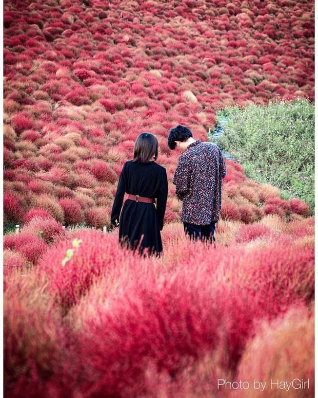 Đẹp nhất Nhật Bản mùa này chính là đồi cỏ Kochia đỏ rực, du khách đua nhau check-in đông không thấy lối đi - Ảnh 8.