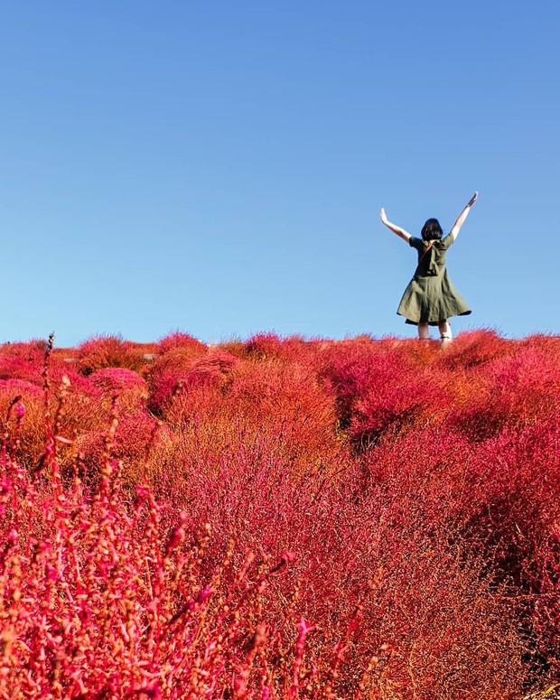 Đẹp nhất Nhật Bản mùa này chính là đồi cỏ Kochia đỏ rực, du khách đua nhau check-in đông không thấy lối đi - Ảnh 7.