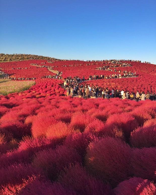 Đẹp nhất Nhật Bản mùa này chính là đồi cỏ Kochia đỏ rực, du khách đua nhau check-in đông không thấy lối đi - Ảnh 22.
