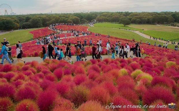 Đẹp nhất Nhật Bản mùa này chính là đồi cỏ Kochia đỏ rực, du khách đua nhau check-in đông không thấy lối đi - Ảnh 21.