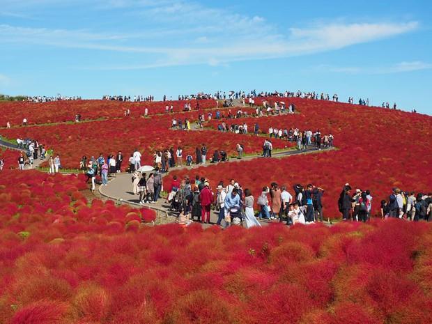 Đẹp nhất Nhật Bản mùa này chính là đồi cỏ Kochia đỏ rực, du khách đua nhau check-in đông không thấy lối đi - Ảnh 18.