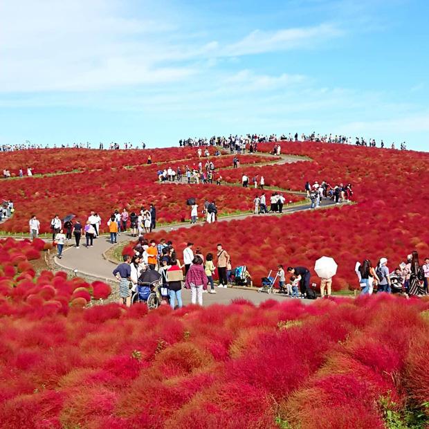 Đẹp nhất Nhật Bản mùa này chính là đồi cỏ Kochia đỏ rực, du khách đua nhau check-in đông không thấy lối đi - Ảnh 20.