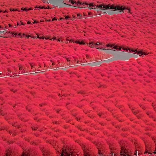 Đẹp nhất Nhật Bản mùa này chính là đồi cỏ Kochia đỏ rực, du khách đua nhau check-in đông không thấy lối đi - Ảnh 11.