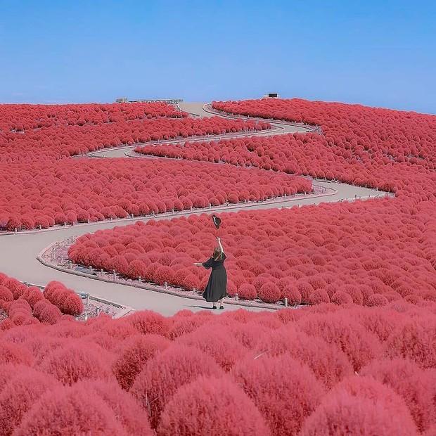 Đẹp nhất Nhật Bản mùa này chính là đồi cỏ Kochia đỏ rực, du khách đua nhau check-in đông không thấy lối đi - Ảnh 1.