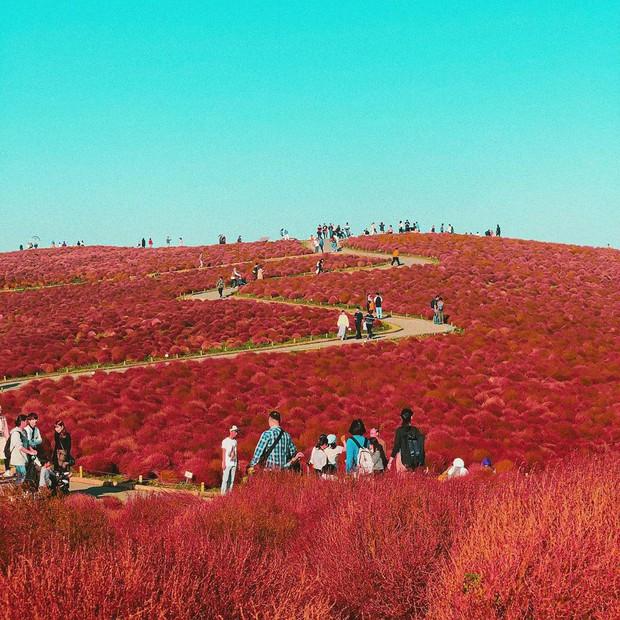 Đẹp nhất Nhật Bản mùa này chính là đồi cỏ Kochia đỏ rực, du khách đua nhau check-in đông không thấy lối đi - Ảnh 14.