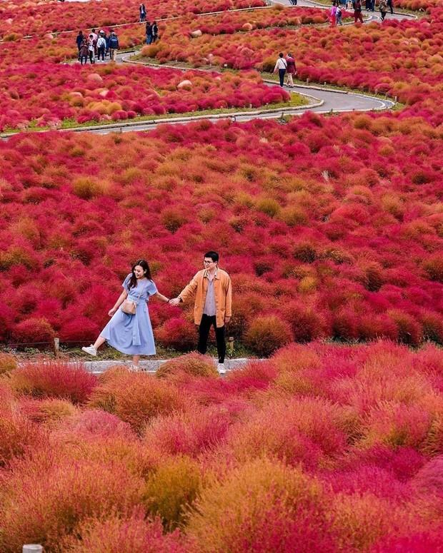 Đẹp nhất Nhật Bản mùa này chính là đồi cỏ Kochia đỏ rực, du khách đua nhau check-in đông không thấy lối đi - Ảnh 2.