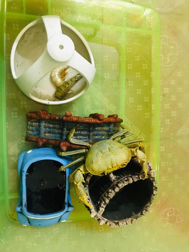 Quá trình nuôi cua đá như thú cưng của cô gái Nam Định: 2 lần thoát khỏi nồi đã thành cái duyên - Ảnh 3.