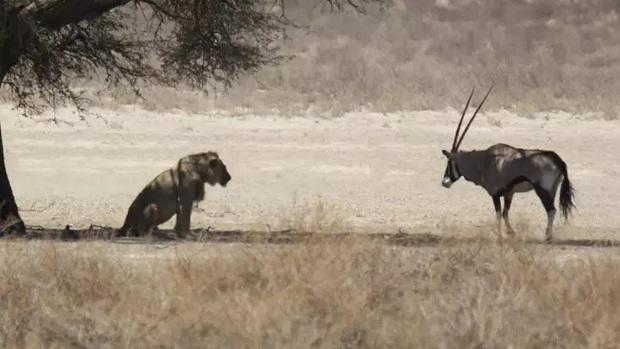 Khoảnh khắc hiếm có khi linh dương bình thản đối mặt với sư tử dưới tán cây, chờ đợi con thú săn mồi vồ lấy mình - Ảnh 1.