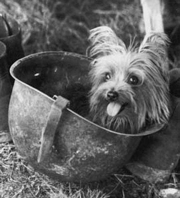 Chú chó tí hon bỗng chốc trở thành siêu chiến binh trong Thế chiến II - Ảnh 3.