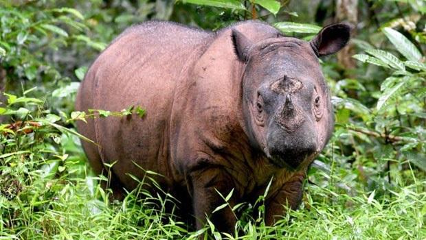 Tê giác Sumatra tuyệt chủng tại Malaysia  - Ảnh 1.