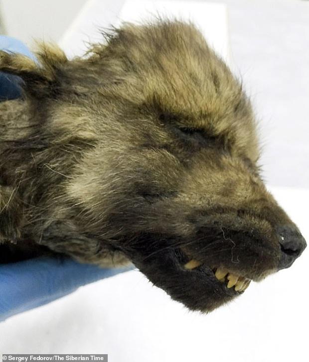 Phát hiện chú cún đã ngủ vùi dưới băng tuyết trong suốt 18.000 năm, cơ thể còn nguyên vẹn gần như tuyệt đối - Ảnh 2.