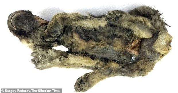 Phát hiện chú cún đã ngủ vùi dưới băng tuyết trong suốt 18.000 năm, cơ thể còn nguyên vẹn gần như tuyệt đối - Ảnh 3.