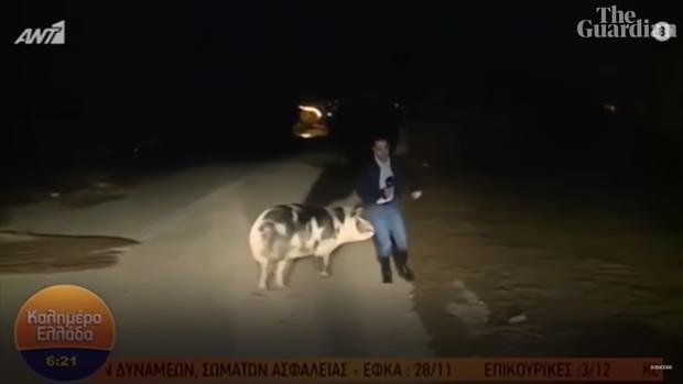 Phóng viên thời sự Hy Lạp bị chú lợn đầu gấu tấn công khi đang truyền hình trực tiếp - Ảnh 2.