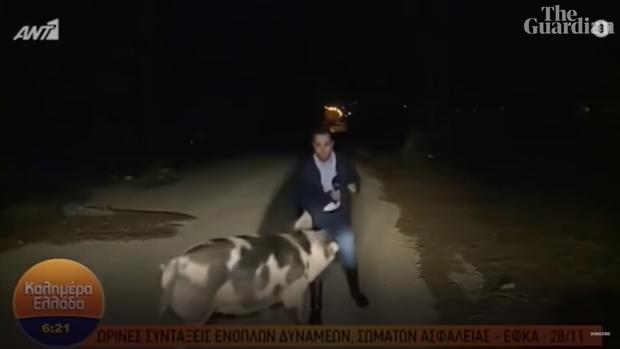 Phóng viên thời sự Hy Lạp bị chú lợn đầu gấu tấn công khi đang truyền hình trực tiếp - Ảnh 1.
