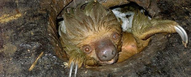 Phát hiện con lười trốn dưới hố xí xây trong rừng Amazon, những gì xảy ra sau đó khiến bất kỳ ai cũng thấy... buồn nôn đến tột độ - Ảnh 4.
