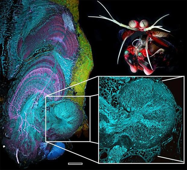 Cuối cùng thì khoa học đã biết được bí mật của sinh vật có cặp mắt vô lý nhất mọi thời đại - Ảnh 3.
