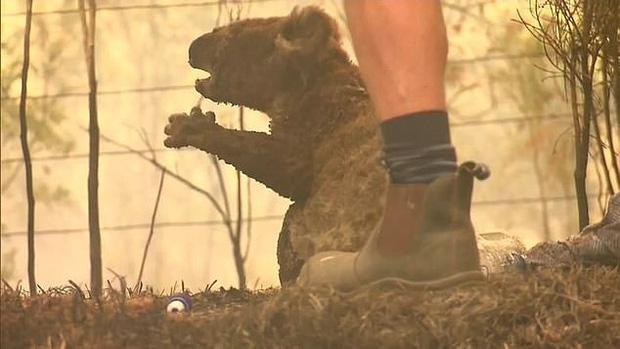 Nàng chó triệu đô dũng cảm lao vào đám cháy dữ dội để giải cứu những con gấu koala bị mắc kẹt trong đợt cháy rừng kinh hoàng ở Úc - Ảnh 3.