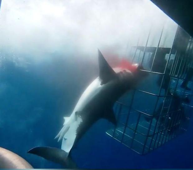 Bị kẹt đầu khi lao vào lồng bảo vệ thợ lặn, cá mập trắng vùng vẫy thoát ra rồi mất mạng đau đớn dưới đại dương sâu thẳm - Ảnh 2.