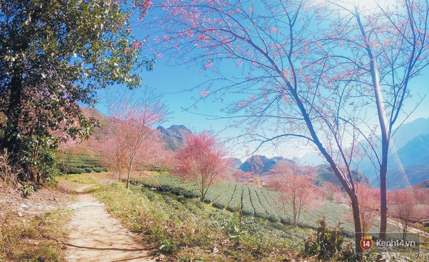 Sau thời gian dài cấm cửa, đồi chè ở Sa Pa đã mở trở lại đúng mùa mai anh đào hồng rực, bán vé tận 100k/người - Ảnh 7.
