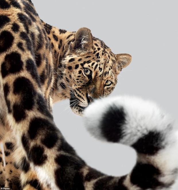 Nhiếp ảnh gia có 'siêu năng lực': Bắt cả bầy hổ báo ngoan ngoãn tạo dáng để chụp ảnh, mắt nhìn thẳng ống kính, thần thái cực đỉnh - Ảnh 6.