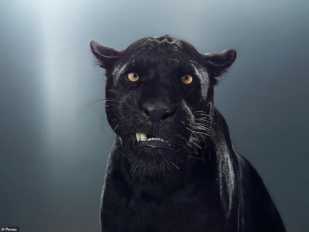 Nhiếp ảnh gia có 'siêu năng lực': Bắt cả bầy hổ báo ngoan ngoãn tạo dáng để chụp ảnh, mắt nhìn thẳng ống kính, thần thái cực đỉnh - Ảnh 4.