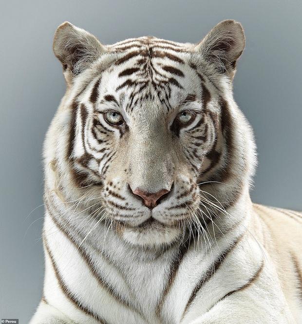 Nhiếp ảnh gia có 'siêu năng lực': Bắt cả bầy hổ báo ngoan ngoãn tạo dáng để chụp ảnh, mắt nhìn thẳng ống kính, thần thái cực đỉnh - Ảnh 3.