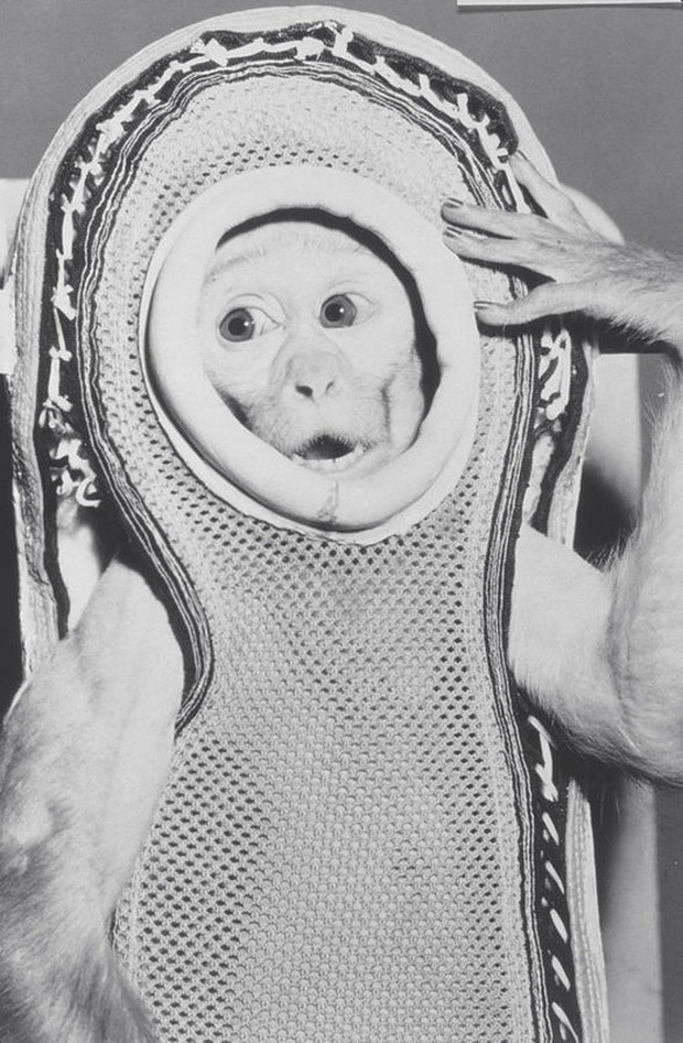 Kỳ thú chuyện con khỉ bay lên vũ trụ, ngày trở về, nó còn làm loạn cả một khu trục hạm của Mỹ - Ảnh 2.