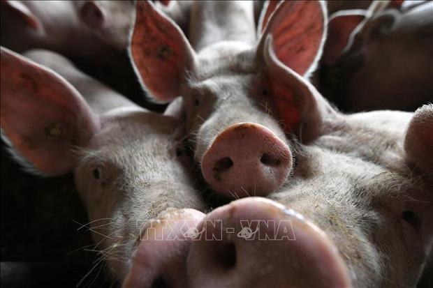 Tội phạm Trung Quốc lây lan dịch tả lợn châu Phi để ép giá người nuôi - Ảnh 1.