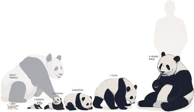 Gấu trúc thân xác to đùng nhưng sao sinh con nặng chỉ 100 grams, bằng 1/900 gấu mẹ: Kiến thức không sách vở nào dạy bạn - Ảnh 2.
