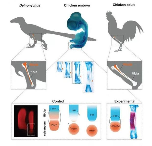 Làm thế nào để hồi sinh một con khủng long cách đây 65 triệu năm? - Ảnh 14.