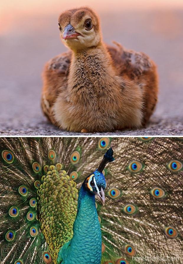 Những loài chim có màn dậy thì thành công nhất mọi thời đại: Lúc bé xâu xấu, lớn lên lại đẹp thấu trời xanh - Ảnh 2.