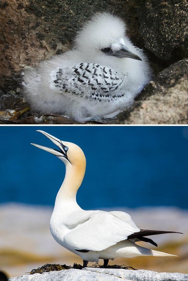 Những loài chim có màn dậy thì thành công nhất mọi thời đại: Lúc bé xâu xấu, lớn lên lại đẹp thấu trời xanh - Ảnh 11.