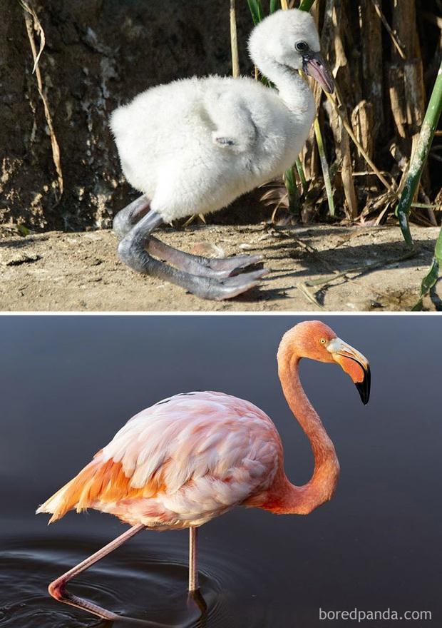 Những loài chim có màn dậy thì thành công nhất mọi thời đại: Lúc bé xâu xấu, lớn lên lại đẹp thấu trời xanh - Ảnh 16.