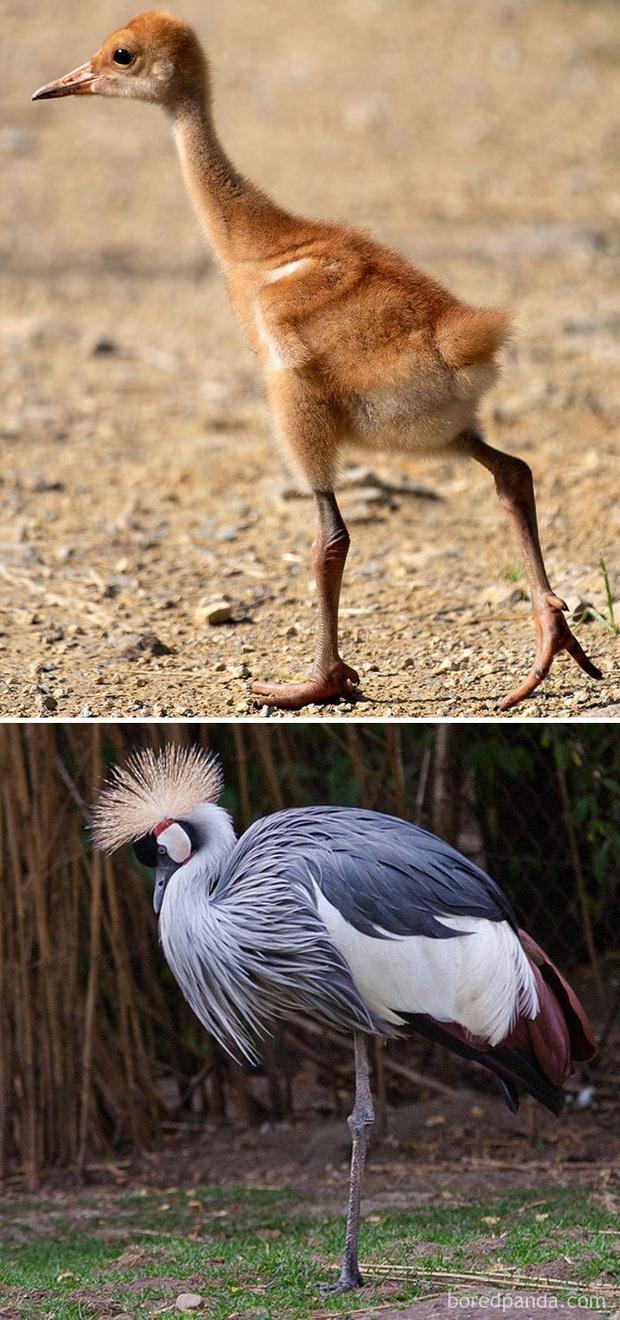 Những loài chim có màn dậy thì thành công nhất mọi thời đại: Lúc bé xâu xấu, lớn lên lại đẹp thấu trời xanh - Ảnh 5.