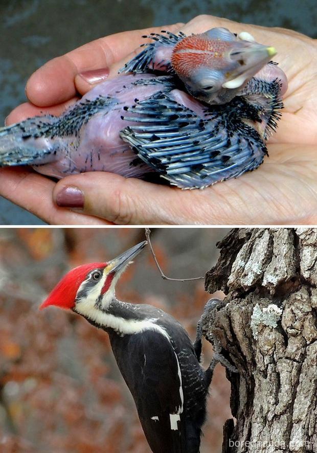 Những loài chim có màn dậy thì thành công nhất mọi thời đại: Lúc bé xâu xấu, lớn lên lại đẹp thấu trời xanh - Ảnh 9.