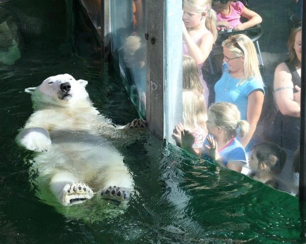 Nhân viên sở thú bất mãn khi thời gian nghỉ đẻ của gấu Bắc cực dài gấp 30 lần so với đồng nghiệp loài người - Ảnh 1.