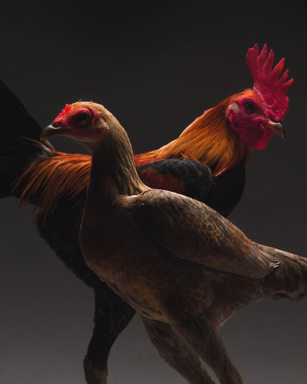 Hai nhiếp ảnh gia thể hiện tình yêu với loài gà qua những shot hình vừa nghệ vừa chuyên nghiệp khiến ai cũng phải trầm trồ - Ảnh 2.