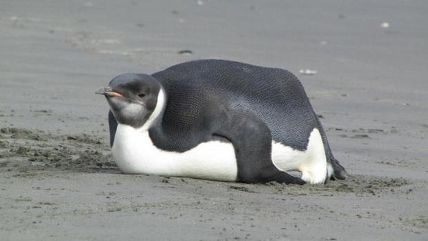 Ngải heo không chừa một ai: Chú chim cánh cụt ăn quá nhiều đến nỗi béo ú không đi nổi, giao phối cũng là chuyện trong mơ  - Ảnh 1.