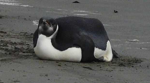 Ngải heo không chừa một ai: Chú chim cánh cụt ăn quá nhiều đến nỗi béo ú không đi nổi, giao phối cũng là chuyện trong mơ  - Ảnh 2.