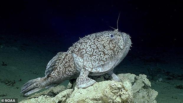 Các nhà khoa học phát hiện loài cá sống gần 1000m bên dưới mặt nước biển, sử dụng vây làm bàn chân để đi lại - Ảnh 1.