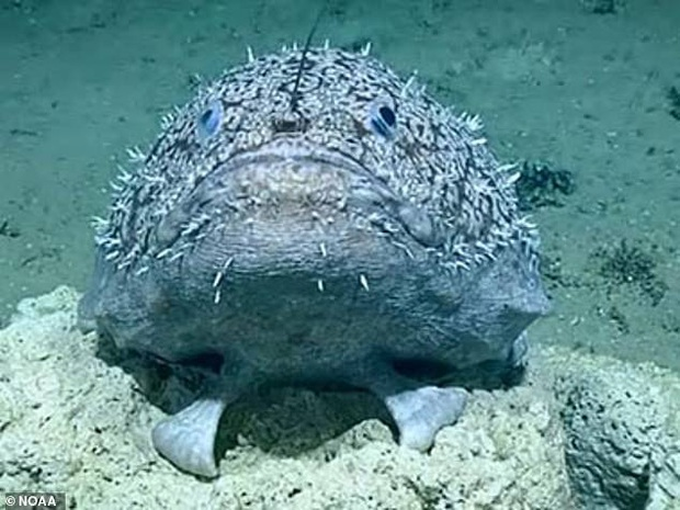Các nhà khoa học phát hiện loài cá sống gần 1000m bên dưới mặt nước biển, sử dụng vây làm bàn chân để đi lại - Ảnh 3.