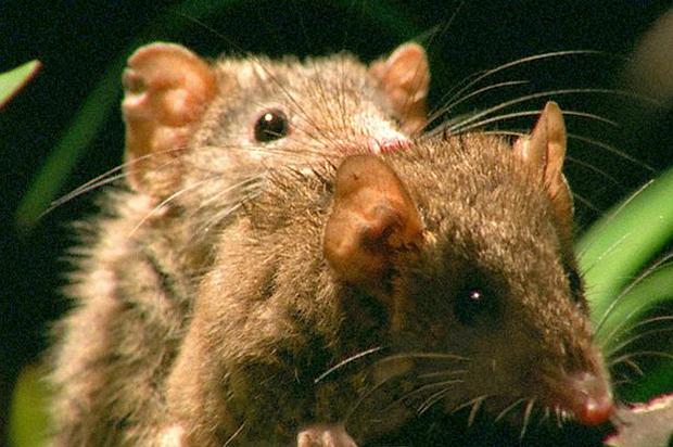 Những con vật đam mê quan hệ với bạn tình rồi... chết, dị nhất là Chuột Antechinus khi dành nửa cuộc đời để chơi trò người lớn - Ảnh 1.