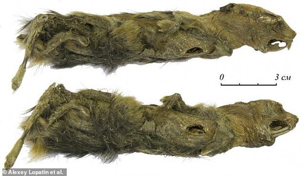 Đi dạo sương sương trên bờ sông, cô bé tình cờ phát hiện xác ướp loài chuột có niên đại hơn 41.000 năm trong tảng băng vĩnh cửu - Ảnh 1.