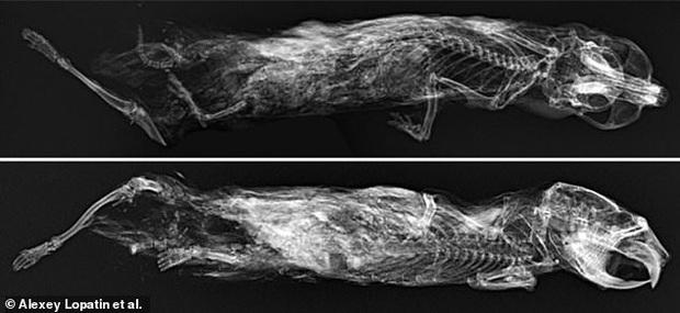 Đi dạo sương sương trên bờ sông, cô bé tình cờ phát hiện xác ướp loài chuột có niên đại hơn 41.000 năm trong tảng băng vĩnh cửu - Ảnh 2.